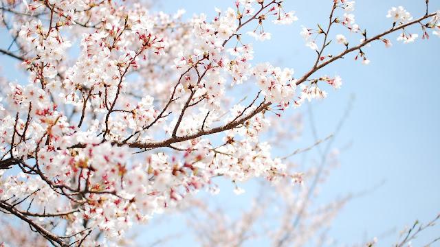 Cherry Blossom Wallpaper 6