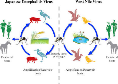 japanese encephalitis in india.