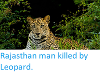 https://sciencythoughts.blogspot.com/2019/05/rajasthan-man-killed-by-leopard.html