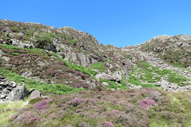 Looking up at the rocky north-eastern ridge of Moel Siabod. Heather on the slopes is just starting to blossom.