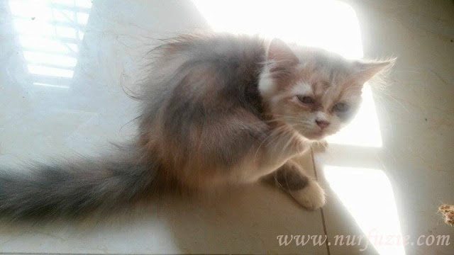 jual kucing mix persian