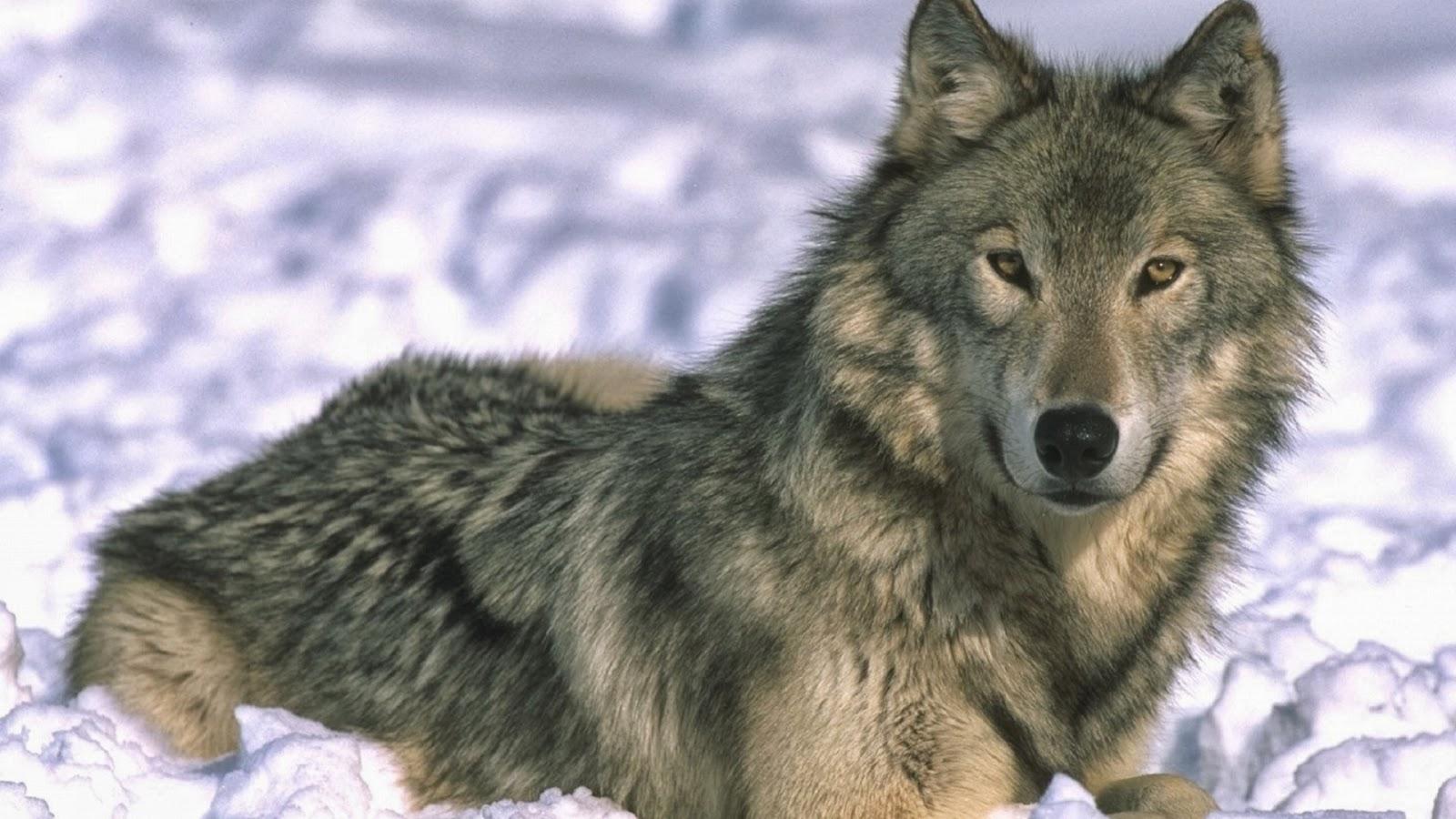 Imagenes De Lobo Para Fondo De Pantalla: Fondo De Pantalla Animales Lobo En La Nieve