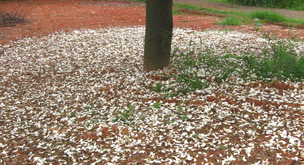 literatura paraibana cronica paineiras tragedia florinda bolkan flores natureza