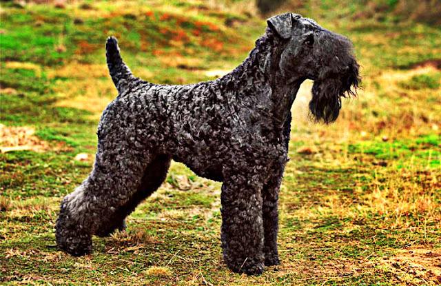 terrier tchéque chien de garde