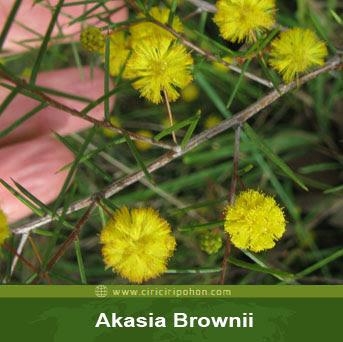 ciri ciri pohon akasia brownii