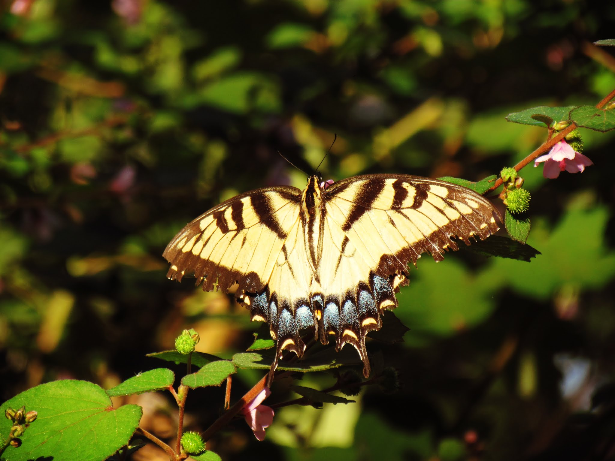 A beautiful Florida swallowtail butterfly with blue wing markings in a Florida haunted woodland in the shade