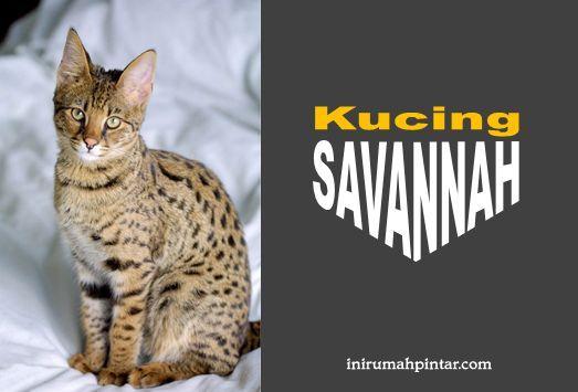 Mengenal Lebih Dekat Kucing Savannah Ras Kucing Termahal Di Dunia Inirumahpintar Com