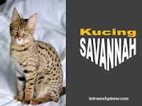Mengenal Lebih Dekat Kucing Savannah, Ras Kucing Termahal di Dunia
