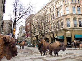Winnipeg's first urbanite bison herd now roams free in the Exchange District