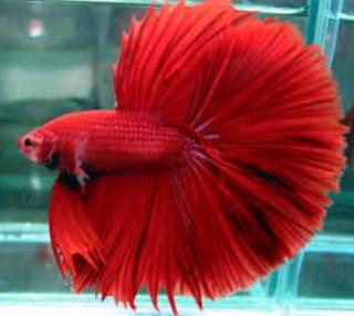 Cara Tepat Budidaya Ikan Cupang Hasil fantastis