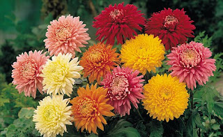 Chrysanthemum-गुलदाउदी