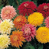 Chrysanthemum-गुलदाउदी का प्रयोग