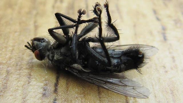 Cara mengusir lalat di rumah dengan cepat