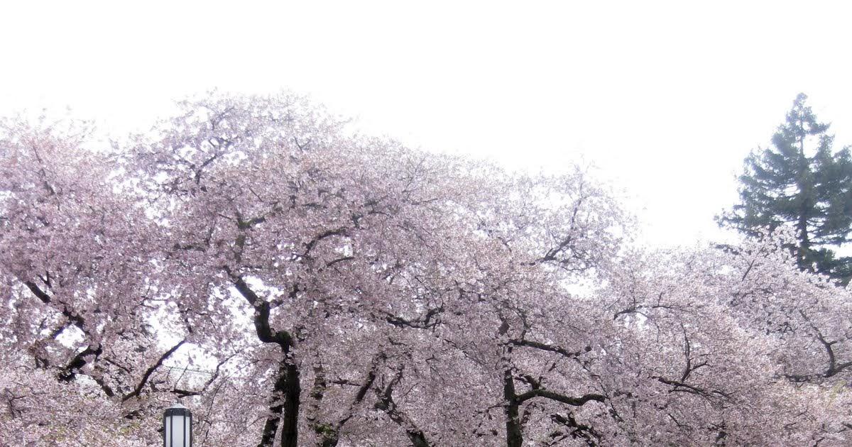 Sakurasaku blossoms dating