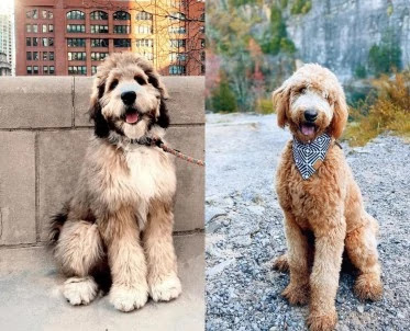 Bernedoodle-vs-Goldendoodle-Health