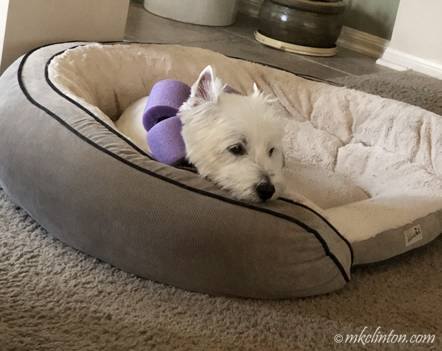 Westie in bed with a pool noodle collar