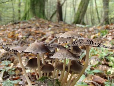 Puszcza Niepołomicka, rezerwat Lipówka, grzyby 2016, grzyby w październiku, grzyby nadrzewne, grzybówki, Mycena, czernidłaki, Coprinus, ziarnówka