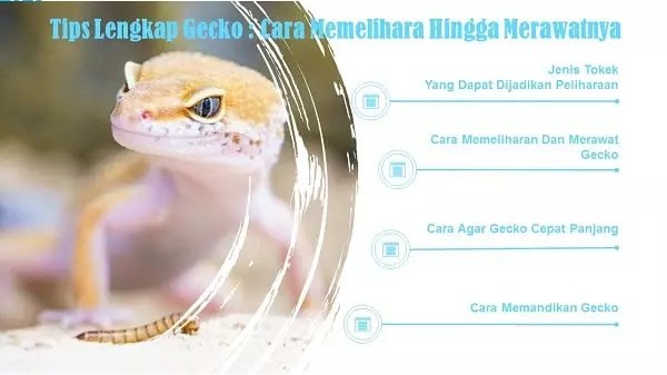 Cara Memelihara Dan Merawat Gecko