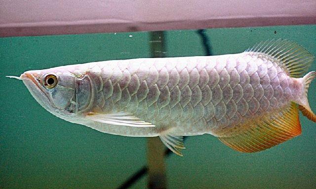 Ikan Hias Termahal di Dunia