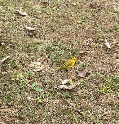 passarinho amarelo andando na grama verde