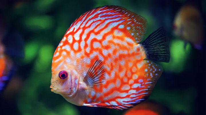 lifespan of a betta fish in captivity