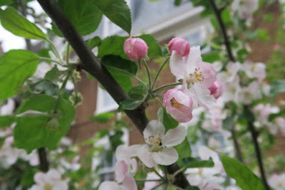 Pink blossom on the Core Blimey apple tree