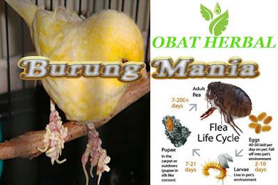 Cara Mengobati Penyakit kutu,jamur dan parasit pada burung