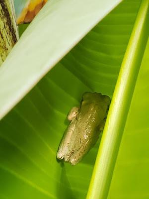 Green frog on bahana leaf