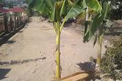 Hal Memilukan Masih Dilihat di Wajo: Belum ada Perhatian , Warga Tanam Pohon Pisang