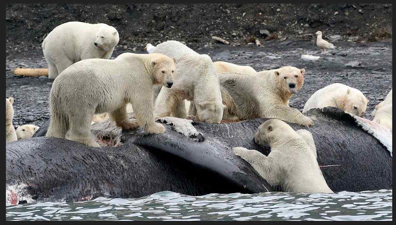 International Union for the Conservation of Nature: Populão de ursos polares aumenta a despeito de boatos midiáticos sobre o clima. Foto devoran ballena,  Wrangel Island, 2017