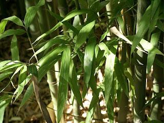 Phyllostachys bambusoides subvariegata