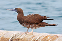 Brown booby juvenile, Costa Rica Pacific coast, by Benjamint444 - Oct. 10, 2012