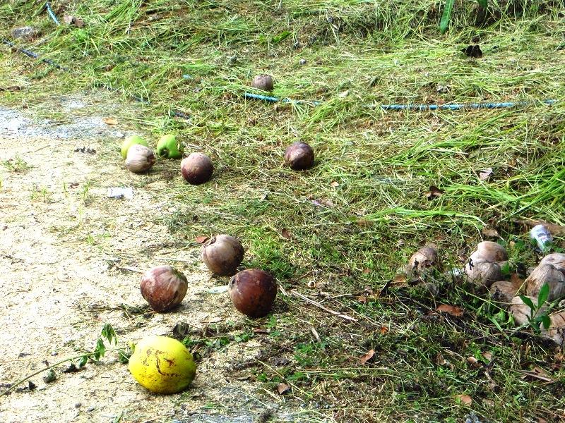 кокосы на земле