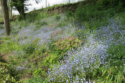 A swathe of blue flowers on a steep roadside verge.