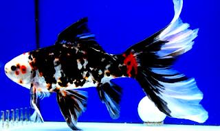 Jenis ikan komet hitam putih