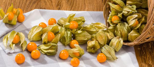 kegunaan buah ceplukan untuk mengobati kanker payudara