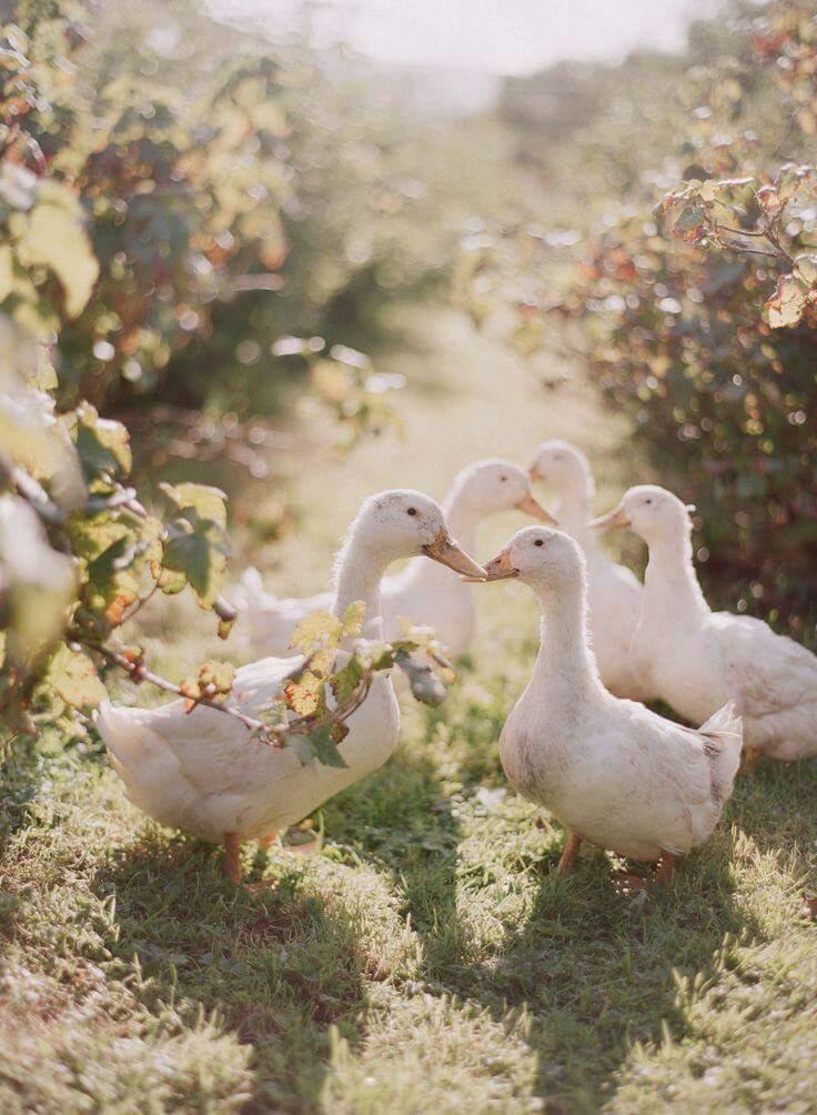 Если белая птица худая и ощипанная , то это — к сложностям в отношениях с родителями жениха.