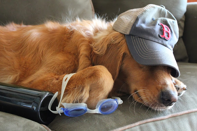 golden retriever dog has red sox world series hangover