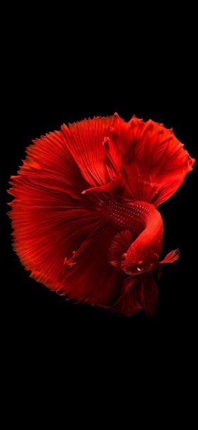 خلفية سمكة الزينة الحمراء أمام خلفية سوداء معتمة
