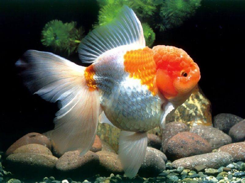 Pemijahan Ikan Mas Koki