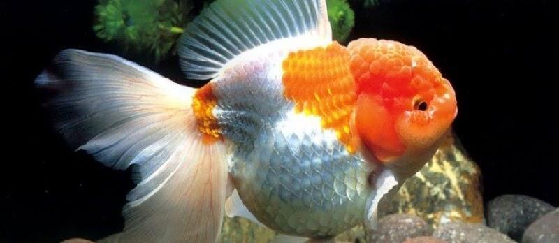 Ini Dia Pemijahan Ikan Mas Koki yang Belum Banyak Diketahui