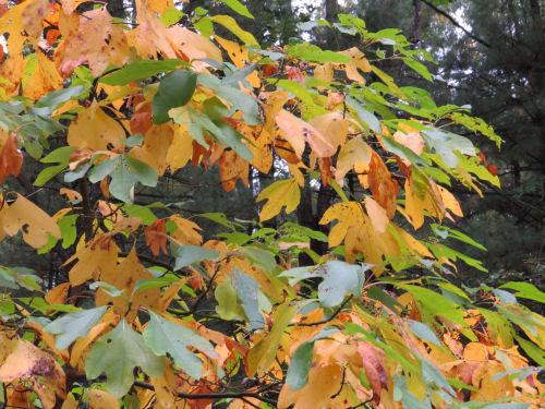 yellow sassafras leaves