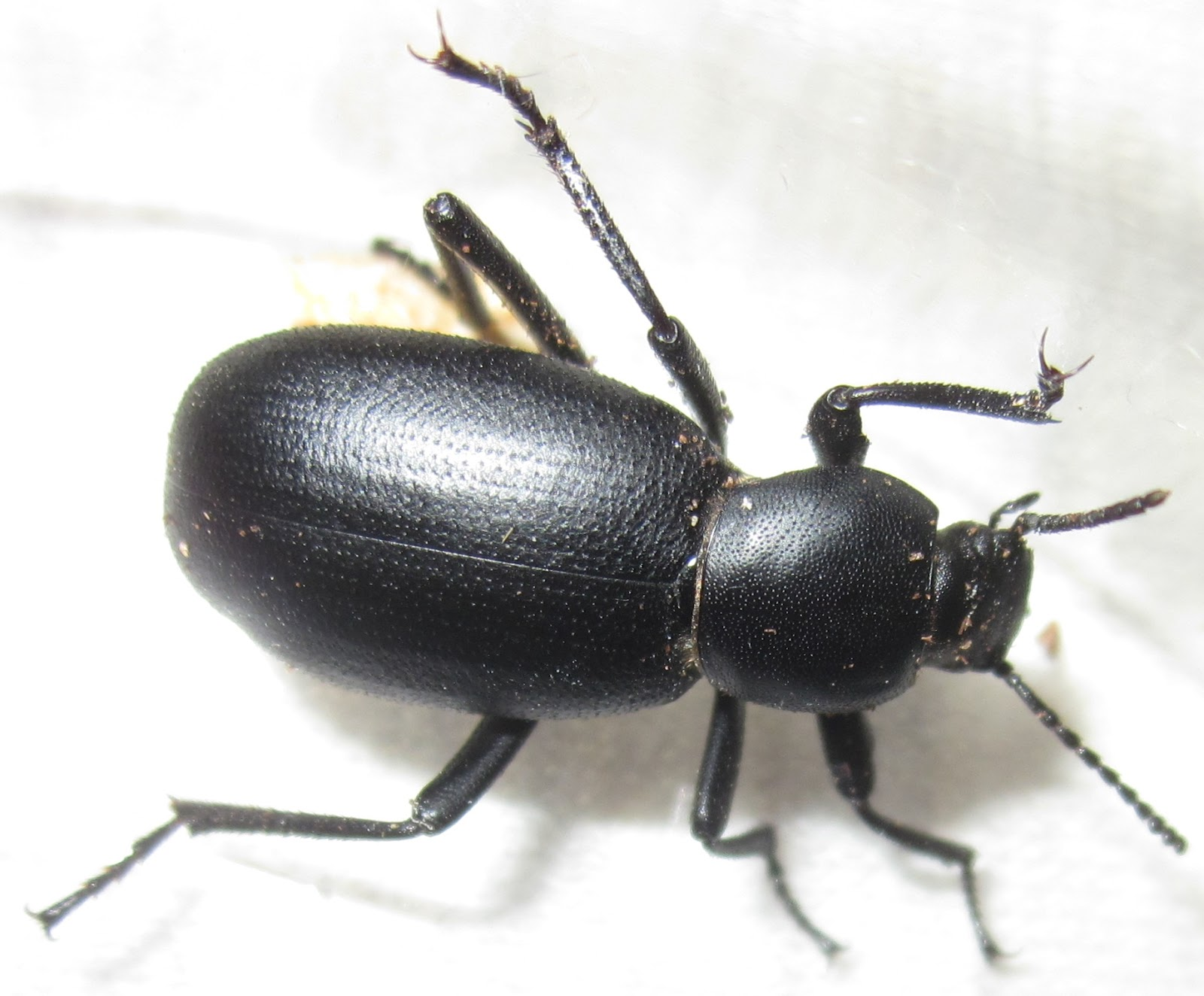 E.nigrina%25238.JPG