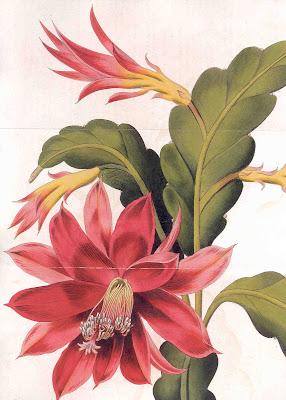 The orchard cactus - Disocactus ackermannii