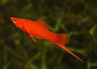 Ikan Platy Swordtail