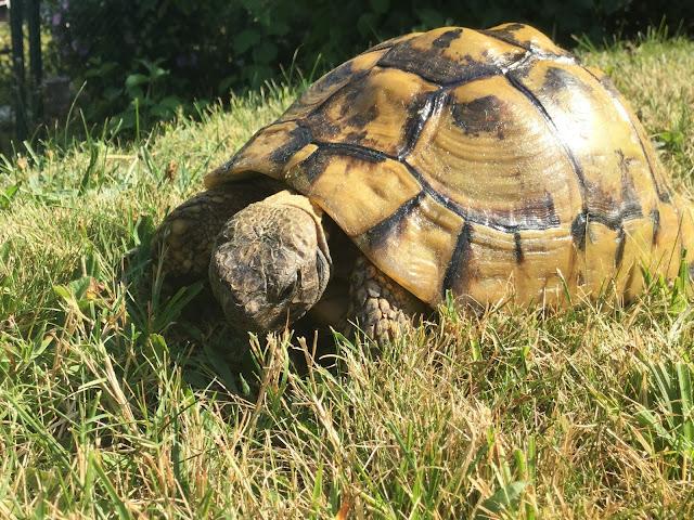 Schildkröte am Kräuter fressen