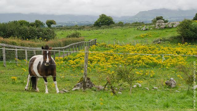 Pony Connemara Irlanda
