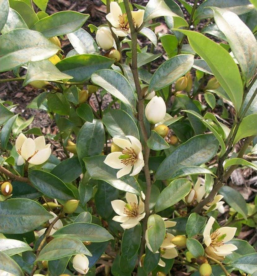 Bibit bunga kantil cempaka putih murah Tegal