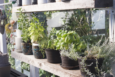pots of fresh herbs in an indoor garden