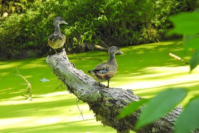 Wood Ducks Today